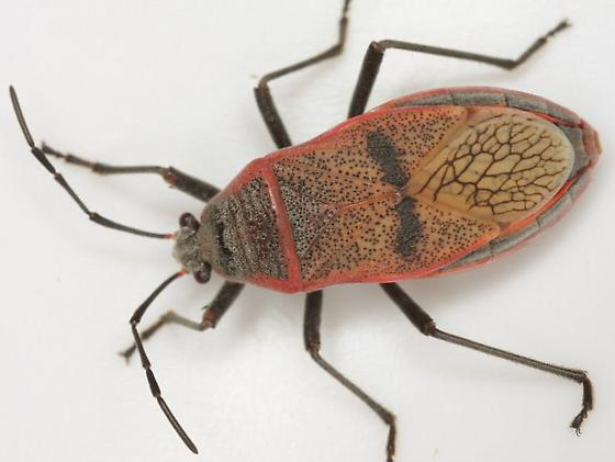 Largus maculatus Schmidt - Largus maculatus