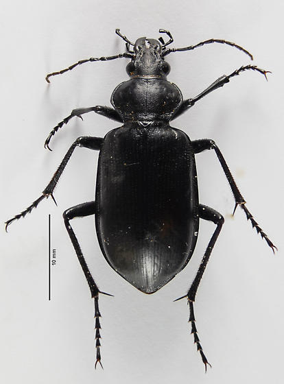 Callisthenes of sorts? - Calosoma peregrinator