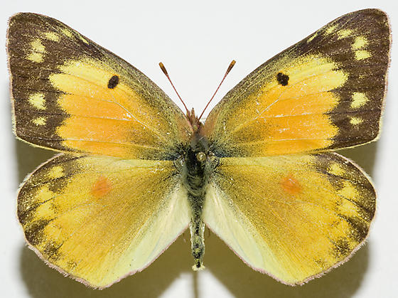 Orange Sulphur - Colias eurytheme - female
