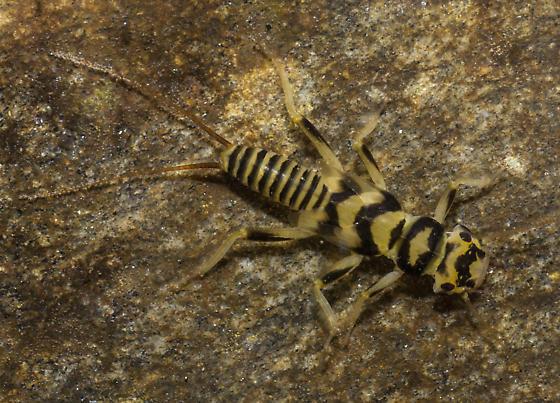 Unidentified Perlodid Stonefly Nymph (Perlodidae)