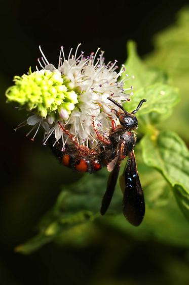 Wasp foraging on mint flowers - Scolia nobilitata