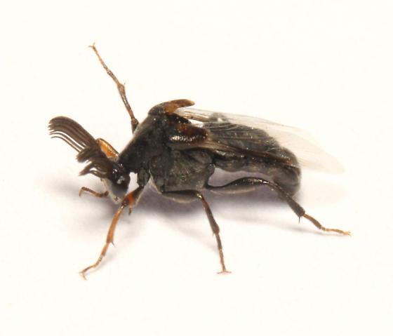 Ripiphoridae, lateral - Ripiphorus - male