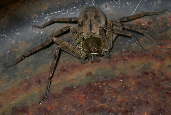 Heteropoda venatoria - female