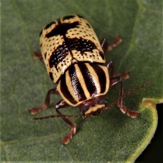 Cryptocephalus leucomelas