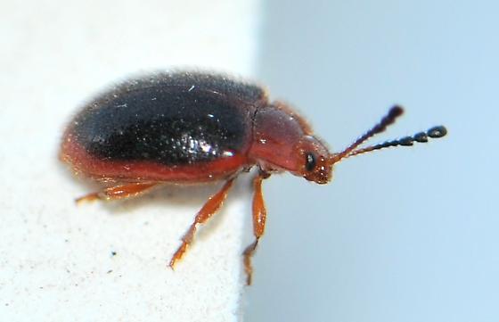 Handsome Fungus Beetle - Stenotarsus hispidus