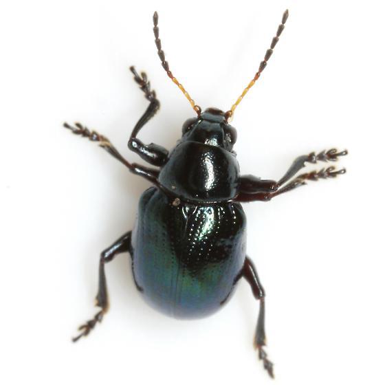 Typophorus nigritus (Fabricius) - Typophorus nigritus