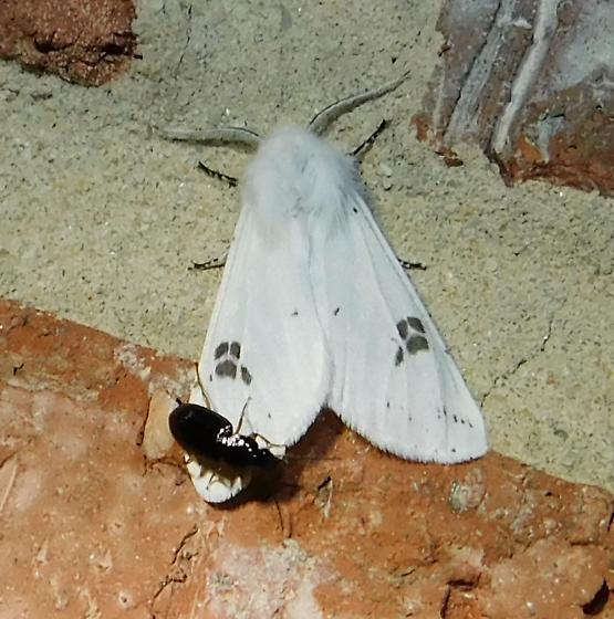 White moth (& hitchhiker) - Hyphantria cunea