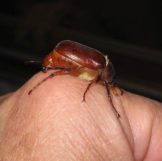 June Beetle - strange behavior - Phyllophaga
