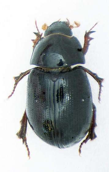 Possiblly Hybosorus illigeri? - Hybosorus illigeri