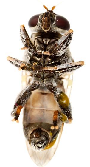 Myolepta cornellia? Male? - Myolepta cornellia - male