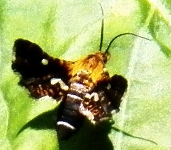 Moth 062517bar - Thyris maculata