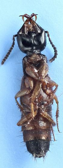 rove #26 - Belonuchus rufipennis