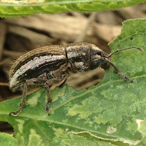 Naupactus leucoloma? - Naupactus leucoloma