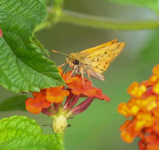 I can't figure this Skipper out - Hylephila phyleus