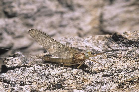 Flatheaded Mayfly - Heptagenia solitaria