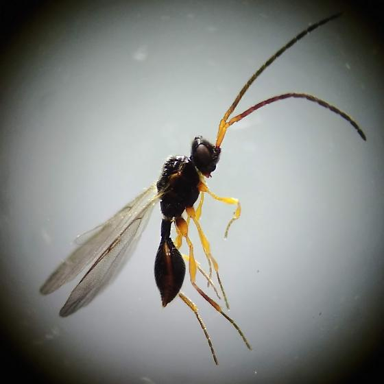 Wasp 02 - Diapriidae - Boreal Forest - Aclista