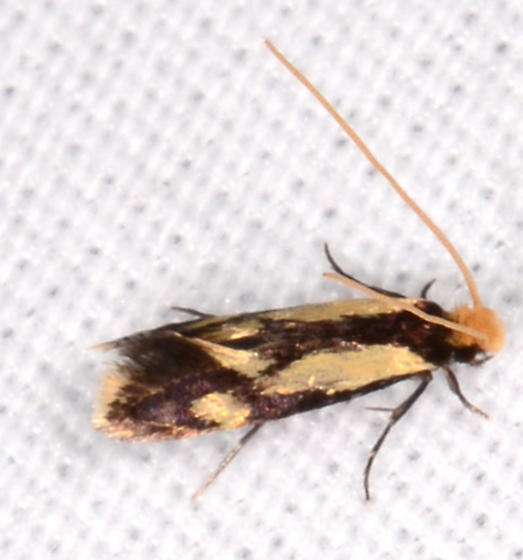 Isocorypha mediostriatella