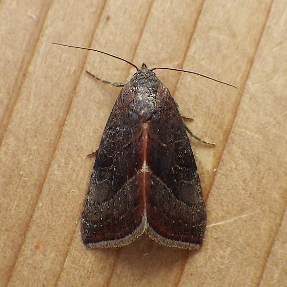 Noctuidae: Galgula partita - Galgula partita