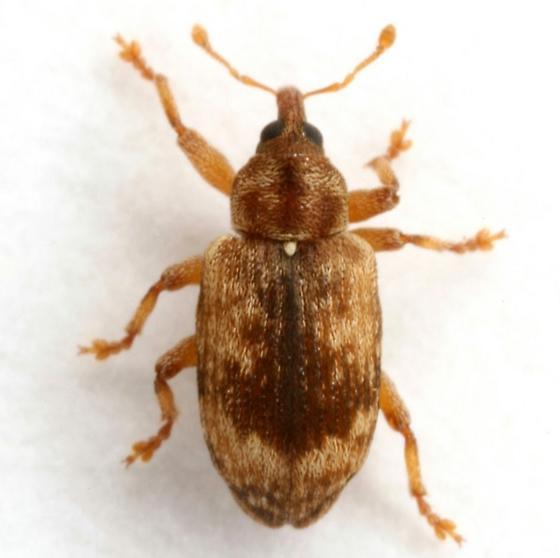 Ellescus ephippiatus (Say) - Ellescus ephippiatus