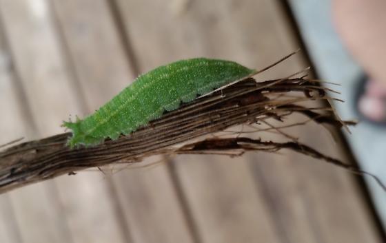 Green caterpillar-Asterocampa?  - Asterocampa
