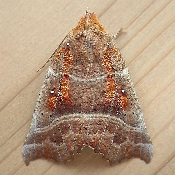Erebidae: Scoliopteryx libatrix - Scoliopteryx libatrix