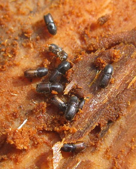Bark beetles - Ips avulsus