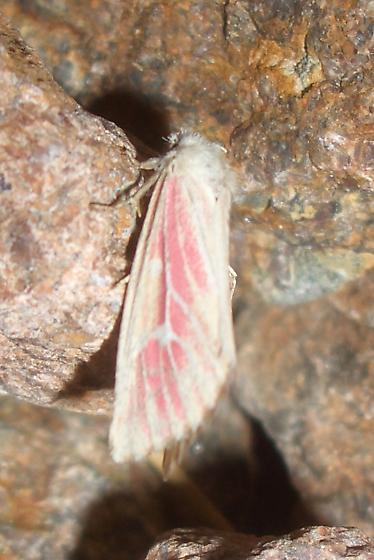 Lythrodes venatus or radiatus? - Lythrodes venatus