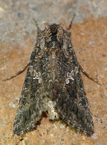 Cutworm - Trichoplusia ni