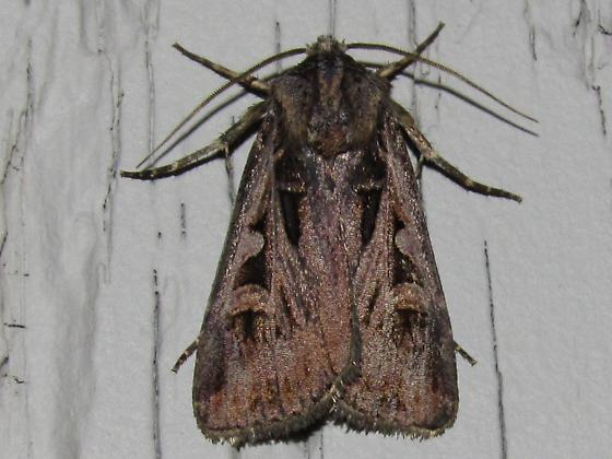 moth sp - Feltia