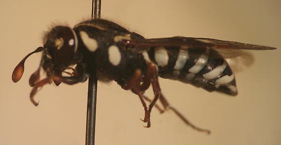 Wasp - Pseudomasaris maculifrons - female