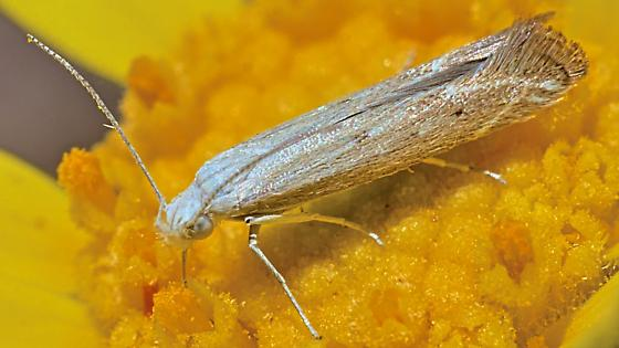 Moth ~7mm to wingtip - Isophrictis
