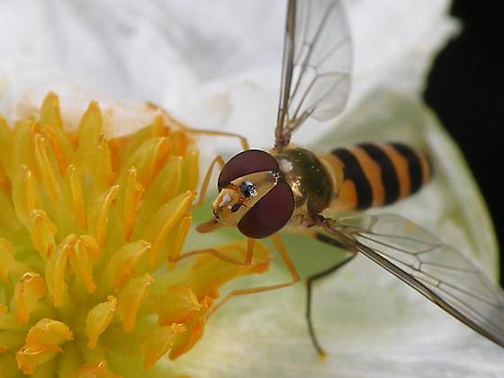 Syrphid Fly - Meliscaeva cinctella - female