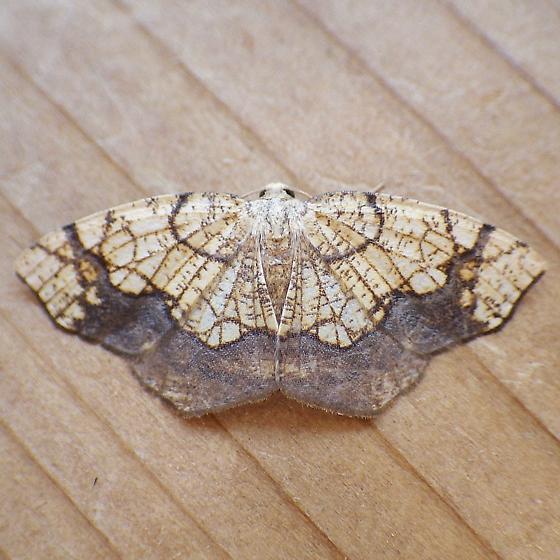 Geometridae: Nematocampa resistaria - Nematocampa resistaria