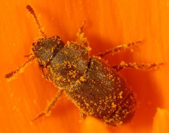 Beetle on California Poppy - Amartus tinctus