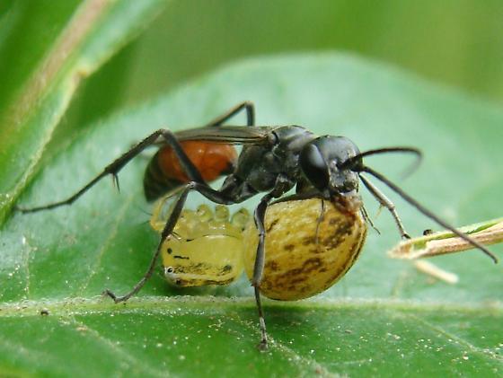 Black and Orange Spider Wasp - Ageniella arcuata