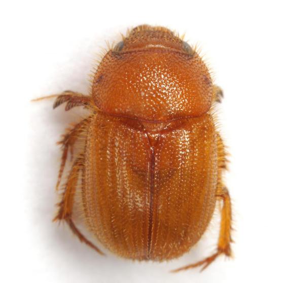 Parochodaeus