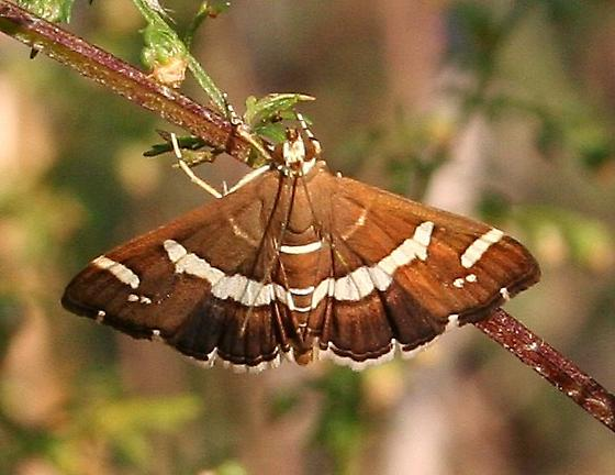Moth ID Confirmation - Spoladea recurvalis
