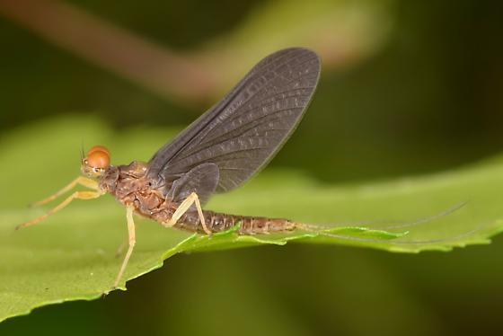 mayfly - Eurylophella funeralis