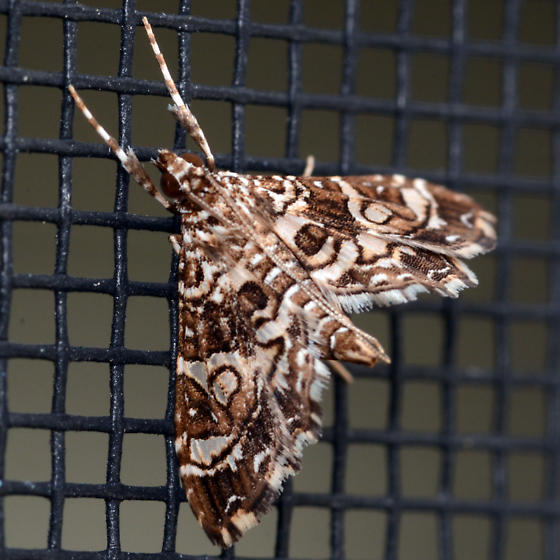 Moth in Boca Raton, FL - Sisyracera inabsconsalis