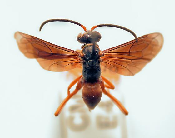 Ceropales robinsonii - female