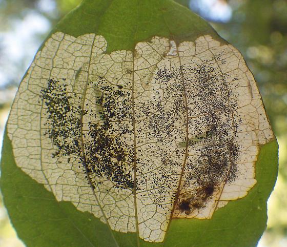 Pale blotch mines on Greenbriar - Proleucoptera smilaciella