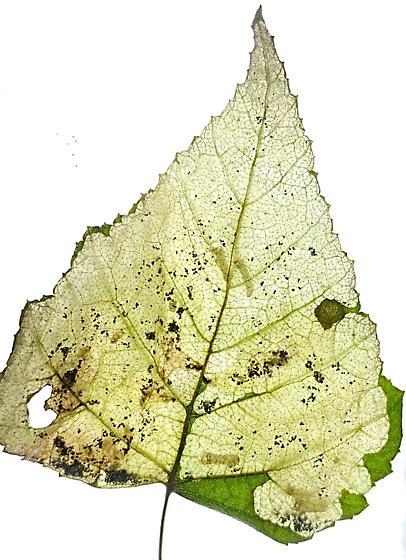Sawfles mine entire leaf