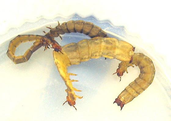 Nice haul of borid larvae - Boros unicolor