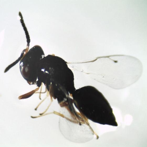 Pteromalus cassotis maybe - Pteromalus cassotis