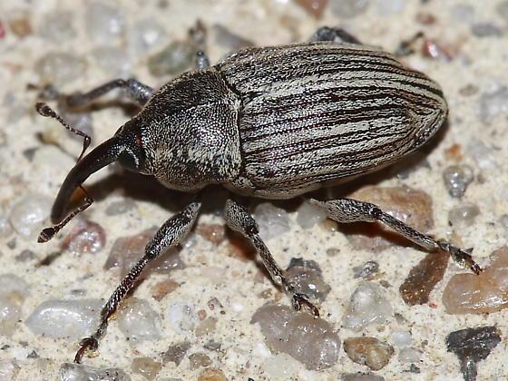 Weevil - Linogeraeus laevirostris
