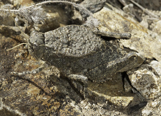 This should be called toad grasshopper.... - Phrynotettix tshivavensis - female