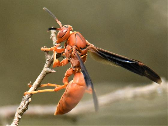 Red paper wasp - Polistes