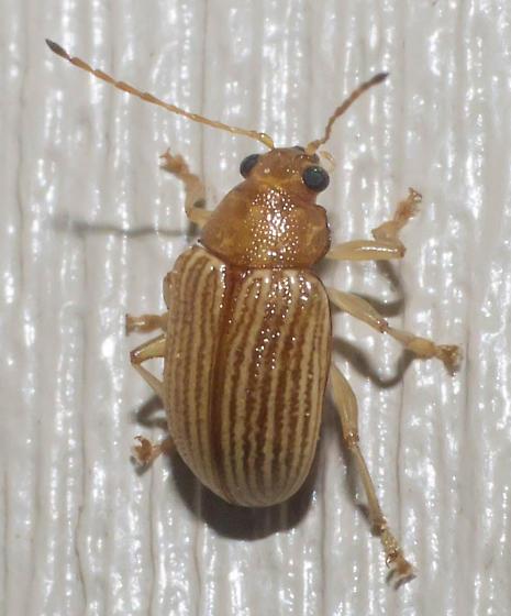 Pale-lined leaf beetle - Colaspis