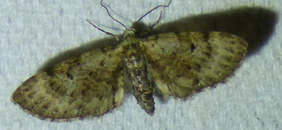 unknown moth - Eupithecia