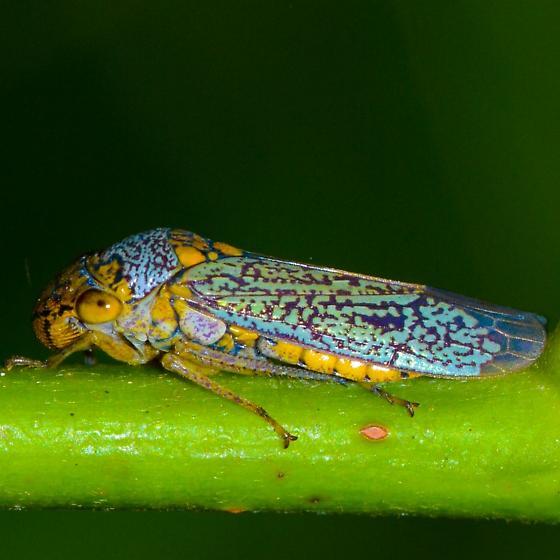 bright blue hopper - Oncometopia orbona